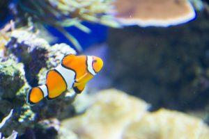 Nemo à l'aquarium de Singapour