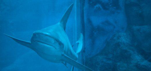 Requin à L'aquarium de Singapour
